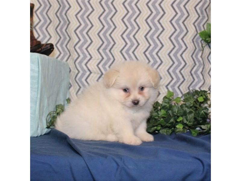 Pomeranian/Bichon