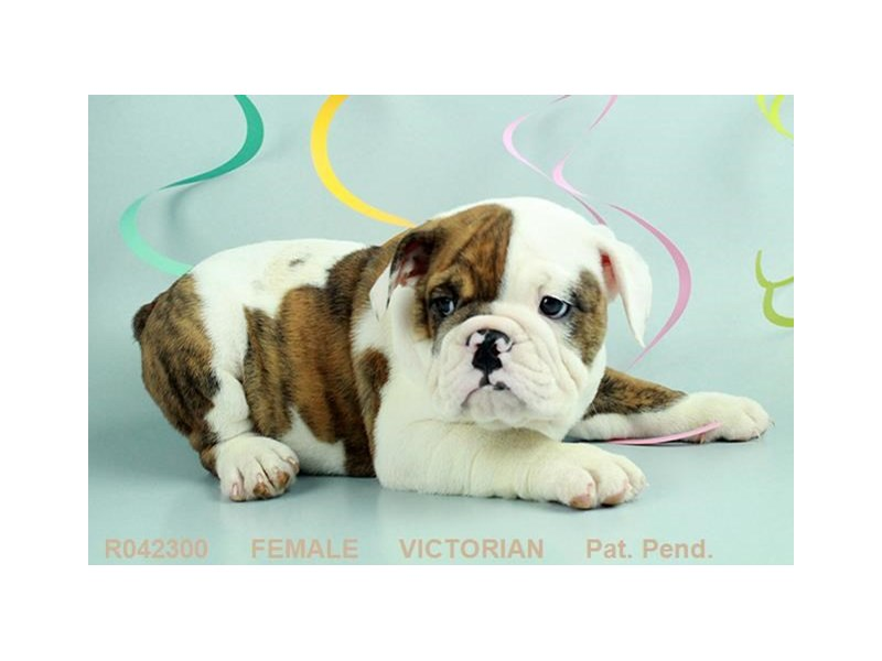 Victorian Bulldog-Female-BRDL:PBLD-1859875-My Next Puppy