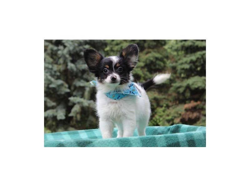 Papillon-Male-Black White / Tan-1860909-My Next Puppy