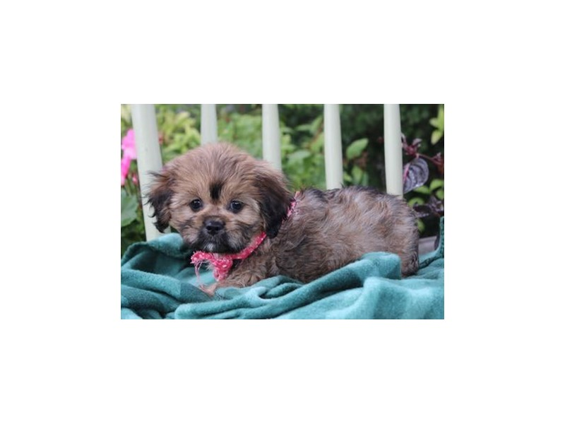Cavalier King/Lhasa Apso-Female-Sable-1878185-My Next Puppy