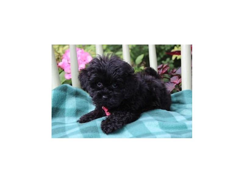 Lhasa Apso/Poodle-Female-Black-1878197-My Next Puppy