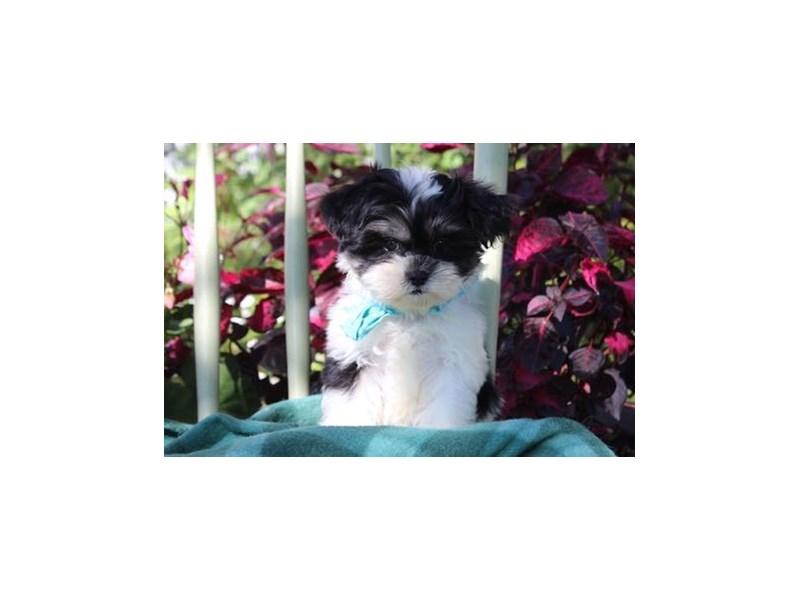 Shih Tzu/Havanese-Female-Black Tan / White-1899509-My Next Puppy