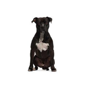 My Next Puppy American Staffordshire Terrier