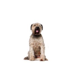 My Next Puppy Briard
