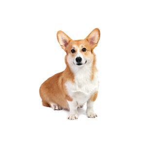 Popular Dog Breeds - My Next Puppy