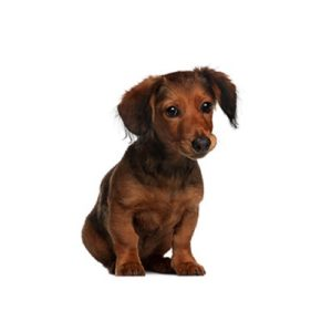 My Next Puppy Dachshund