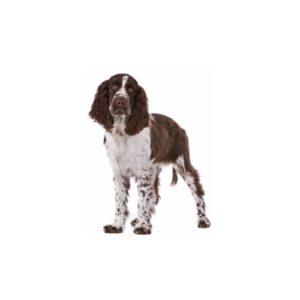 My Next Puppy English Springer Spaniel