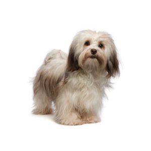 My Next Puppy Havanese