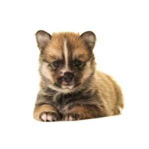 My Next Puppy Pomsky