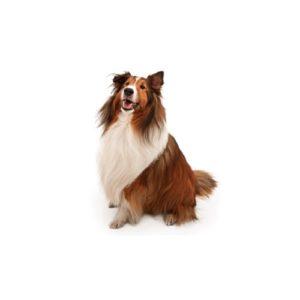 My Next Puppy Shetland Sheepdog