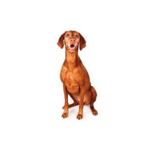 My Next Puppy Vizsla