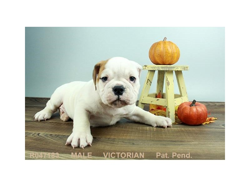 Victorian Bulldog-Male-RD:PBLD-1924586-My Next Puppy
