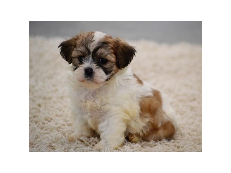 Bichon/Shih Tzu-Male-Brown / White-1940236-My Next Puppy