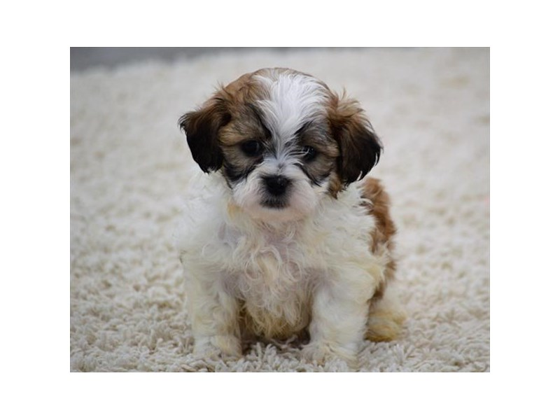 Bichon/Shih Tzu-Male-Red / White-1940237-My Next Puppy