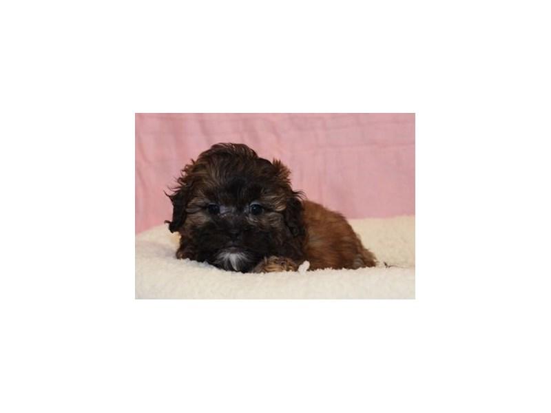 Shih Tzu/Poodle