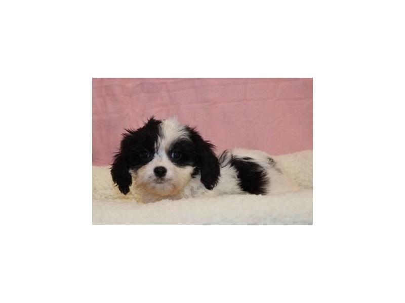 Cavalier King/Bichon-Female-Black / White-1952959-My Next Puppy