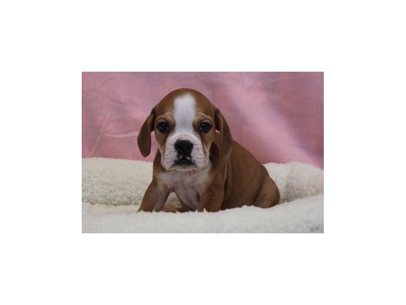 Bulldog/Beagle