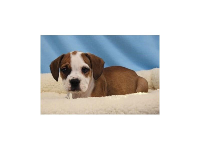 Bulldog/Beagle-Male-Fawn / White-1963207-My Next Puppy