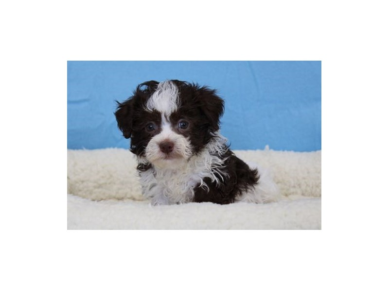 Havanese/Poodle-Male-Chocolate / White-1963216-My Next Puppy