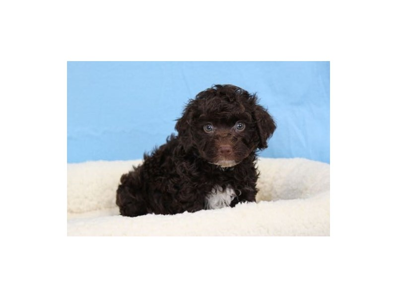 Havanese/Poodle-Male-Chocolate-1963227-My Next Puppy