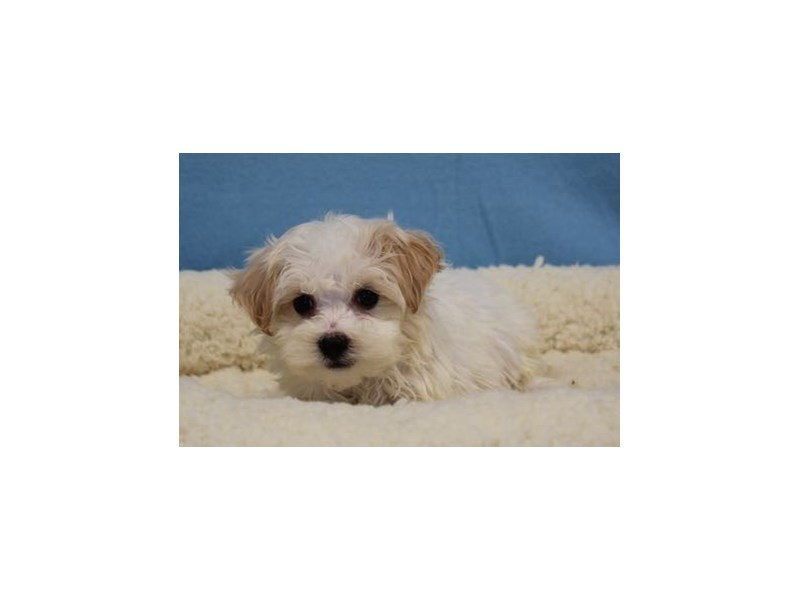 Havanese/Poodle-Male-White / Apricot-1963228-My Next Puppy
