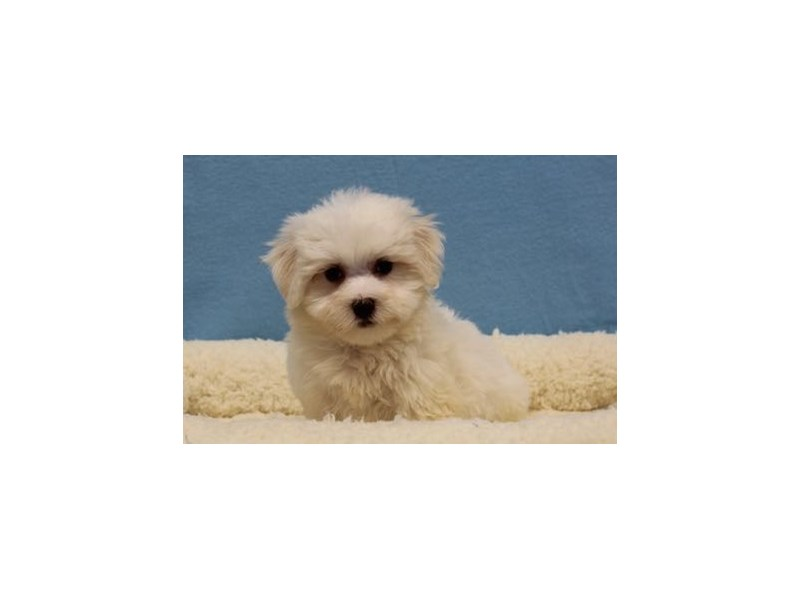 Maltese/Poodle-Male-Cream / White-1968990-My Next Puppy