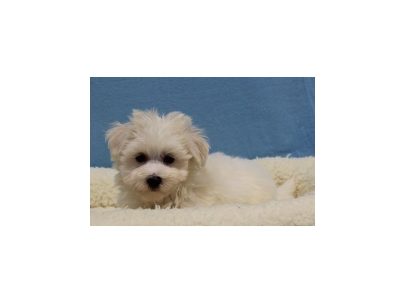 Maltese/Poodle-Male-Cream / White-1968991-My Next Puppy