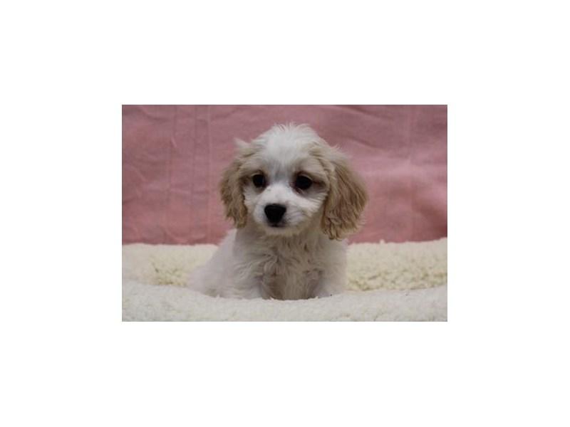 Cavalier King/Bichon-Female-White / Apricot-1968992-My Next Puppy