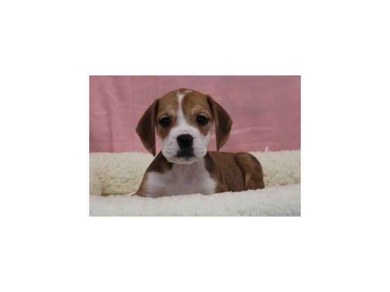 Bulldog/Beagle-Female-Fawn / White-1969006-My Next Puppy