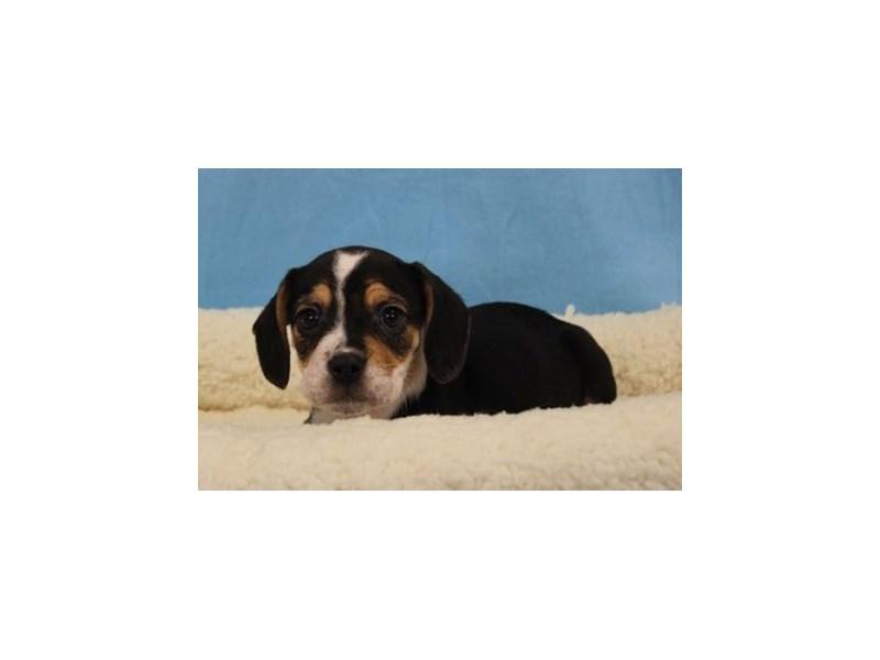 Bulldog/Beagle-Male-Black Tan / White-1969009-My Next Puppy