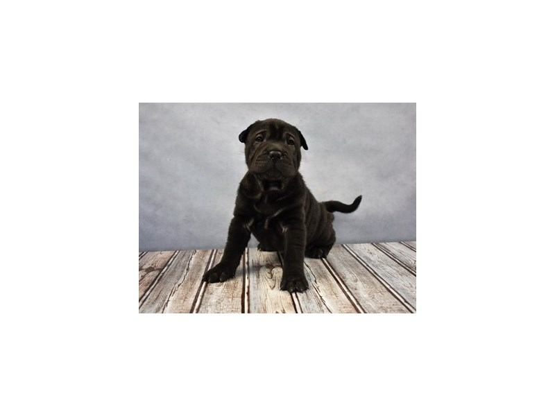 Ori Pei-Male-Black-1945325-My Next Puppy