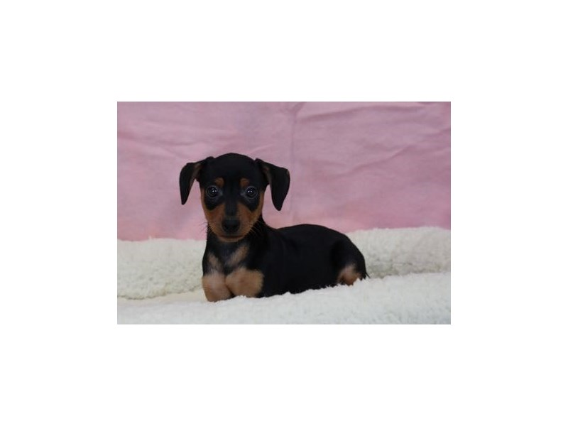 Miniature Pinscher-Female-Black / Tan-1963206-My Next Puppy