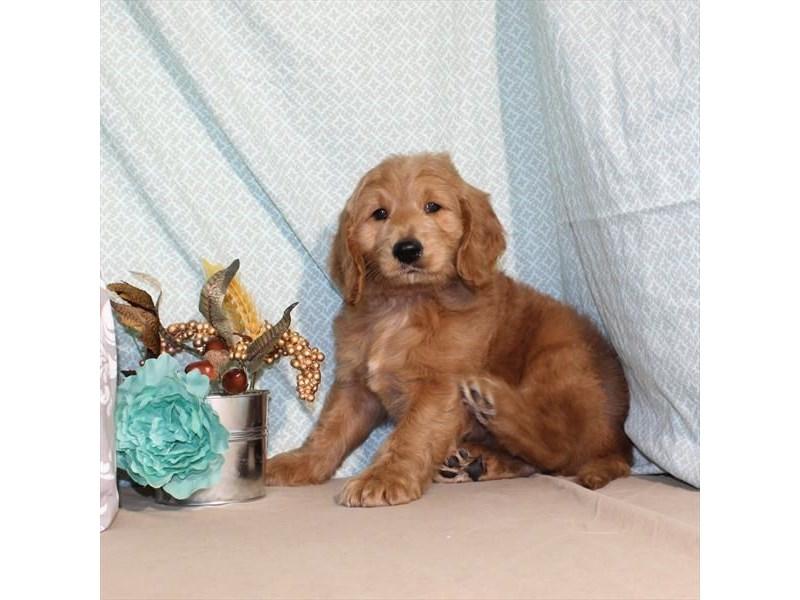 Standard Poodle/Golden Retriever-Male-Dark Golden-1978102-My Next Puppy