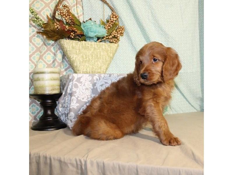 Standard Poodle/Golden Retriever