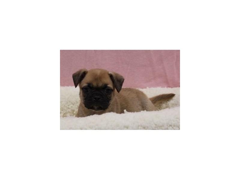 Boston/Pug-Female-Fawn-1978144-My Next Puppy