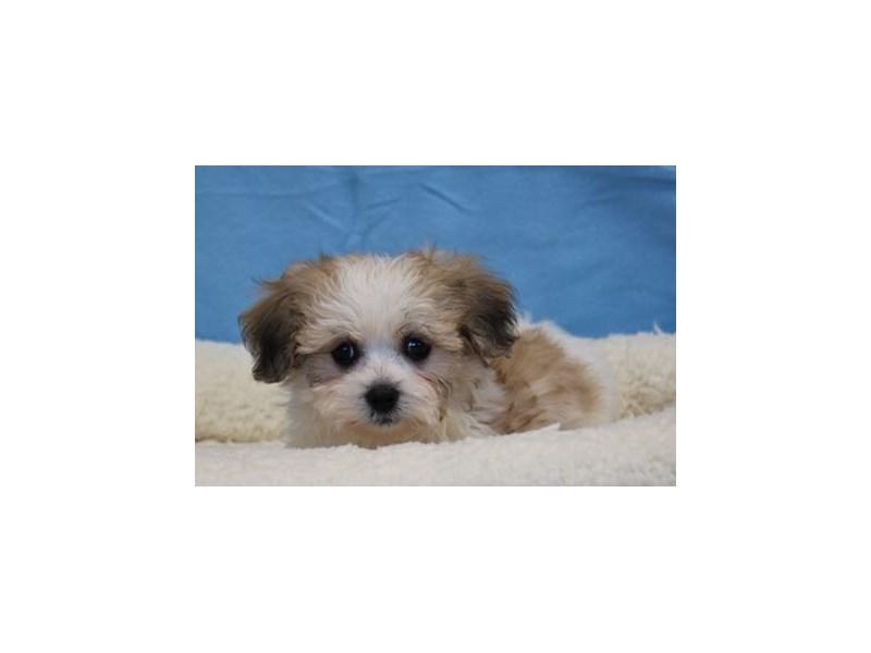 Havanese/Bichon-Male-Sable / White-1978153-My Next Puppy