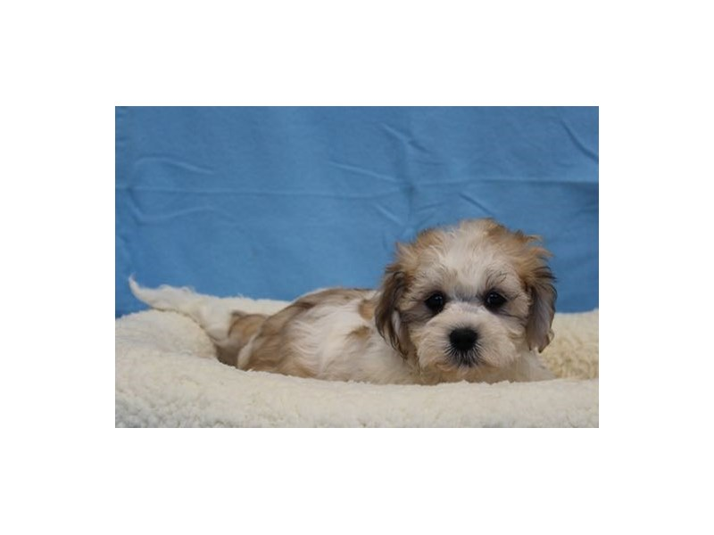 Havanese/Bichon-Male-Sable / White-1978154-My Next Puppy