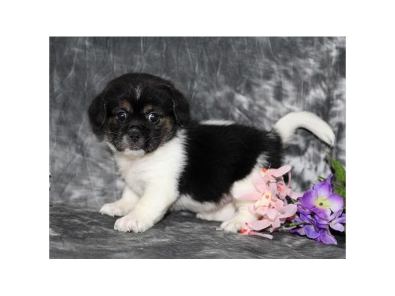 Pekingese/Beagle