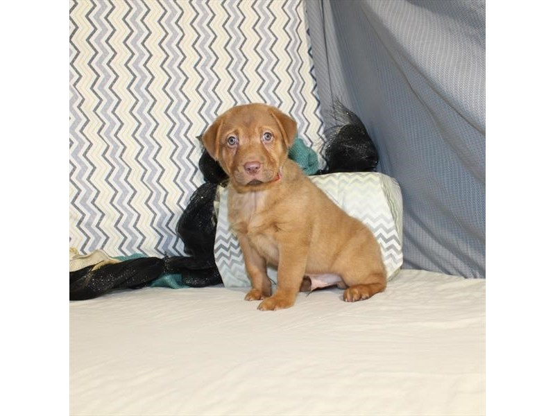 Shar-Pei/Beagle