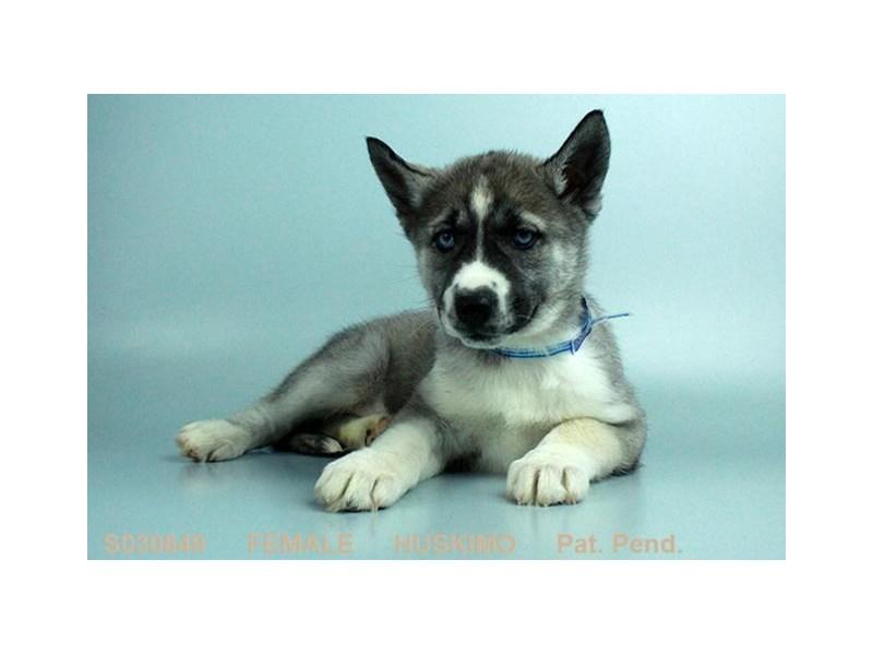 Huskimo-Female-GR & BLK-1986751-My Next Puppy