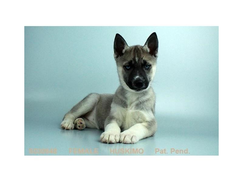 Huskimo-Female-AGT & WH-1986752-My Next Puppy