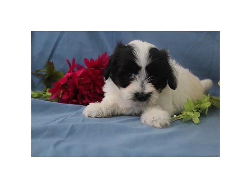 Coton De Tulear-Female-Black / White-1987318-My Next Puppy