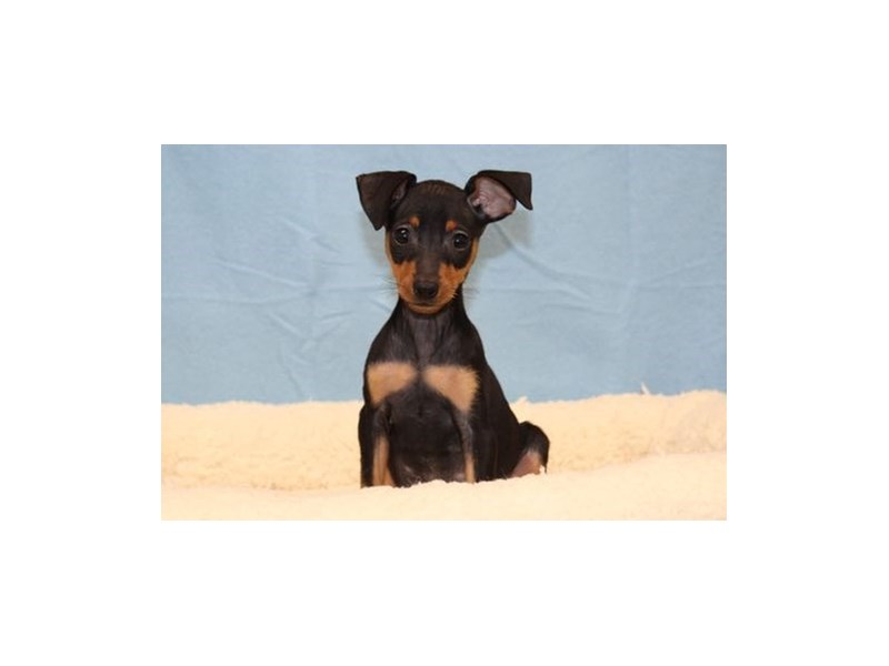 Miniature Pinscher-Male-Black / Tan-1994025-My Next Puppy