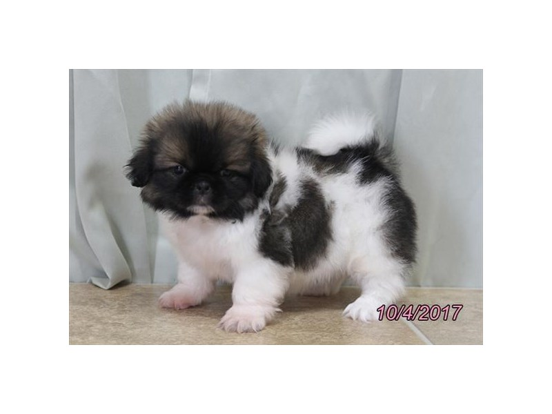 Pekingese-Male-Sable / White-1920108-My Next Puppy