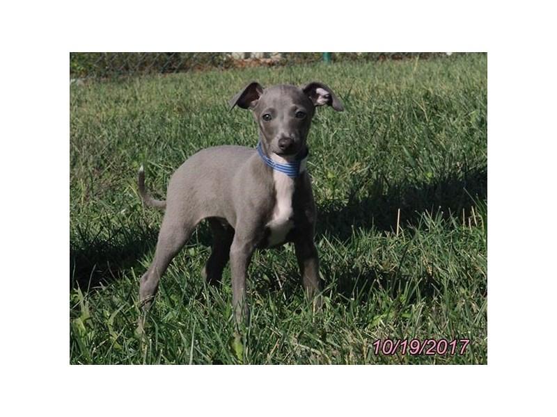 Italian Greyhound-Male-Blue-1932514-My Next Puppy