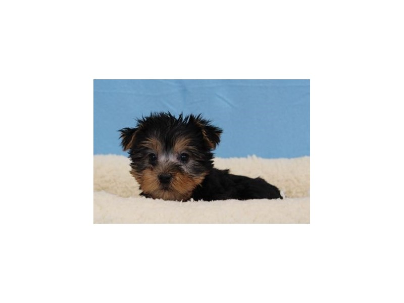 Silky Terrier-Male-Black / Tan-1978135-My Next Puppy