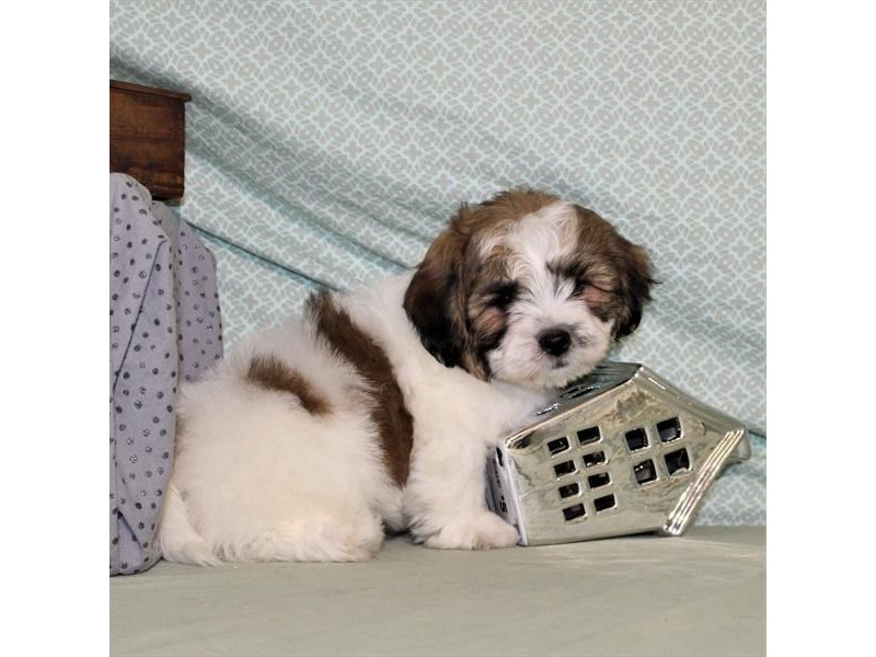 Bichon/Shih Tzu-Male-White / Gold-1998458-My Next Puppy