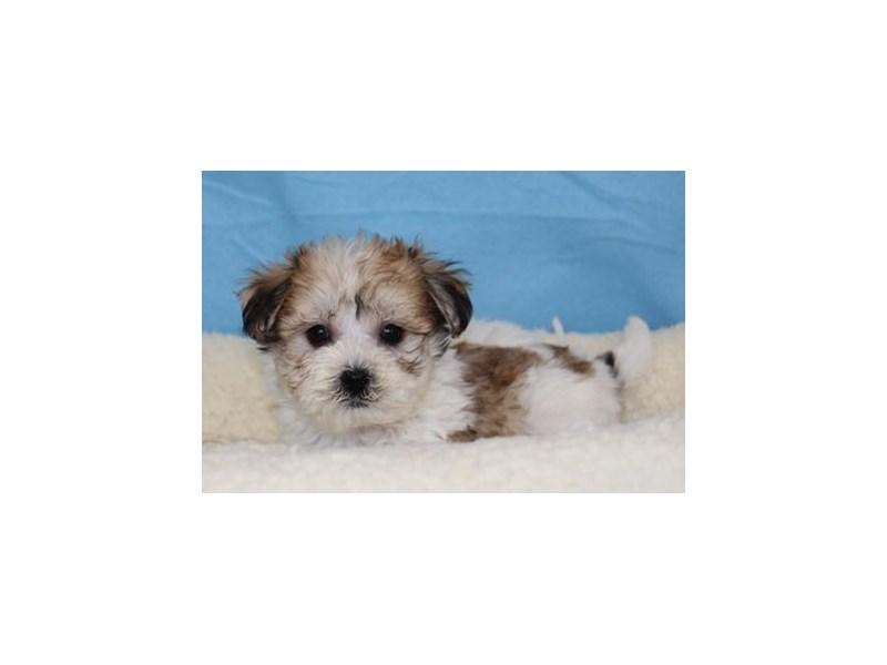 Havanese/Bichon-Male-Sable / White-1998463-My Next Puppy