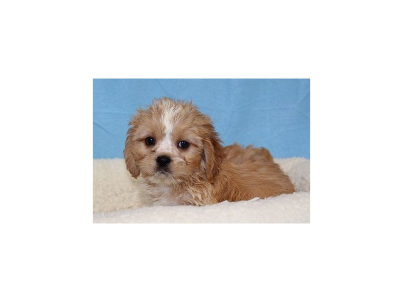 Cavalier King/Lhasa Apso-Male-White / Apricot-1998465-My Next Puppy