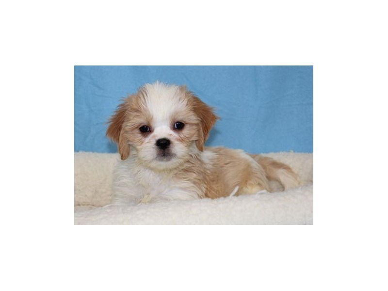 Cavalier King/Lhasa Apso-Male-White / Apricot-1998467-My Next Puppy